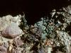 Aristolochiaceae  - Aristolochia watsonii - Los Anegados Explorar827