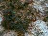 Aristolochiaceae - Aristolochia watsonii - Los Anegados Explorar1358