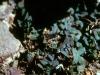 Aristolochiaceae - Aristolochiaceae - Aristolochia watsonii - Los Anegados Explorar826