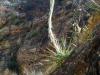 Asparragaceae - Agave chrysoglossa - Los Anegados P0000220