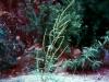 Asteraceae - Ambrosia confertiflora - Los Anegados Explorar1425