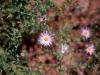 Asteraceae - Arida coulteri - El Sahuaral Explorar2093