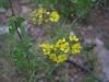 Malpighiaceae - Echinopterys eglandulosa - Ejido Francisco Villa IMG_0309