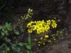 Malpighiaceae - Echinopterys eglandulosa - Ejido Francisco Villa IMG_0311