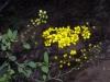 Malpighiaceae - Echinopterys eglandulosa - Ejido Francisco Villa IMG_0312