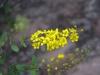 Malpighiaceae - Echinopterys eglandulosa - Ejido Francisco Villa Malpighiaceae - IMG_0310