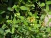 Malpighiaceae - Galphimia angustifolia IMG_0294