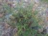 Malpighiaceae - Galphimia angustifolia P0000664