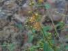 Malpighiaceae - Galphimia angustifolia P0000665