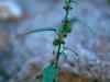 Malvaceae - Ayenia filiformis - Los Anegados Explorar1433