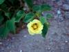 Malvaceae - Gossypium davidsonii - Los Anegados Explorar1446