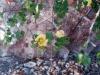 Malvaceae - Gossypium turneri - San Carlos Explorar1634