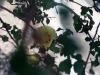 Malvaceae - Gossypium turneri - San Carlos Explorar1635