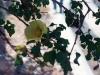 Malvaceae - Gossypium turneri - San Carlos Explorar1636