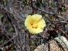 Malvaceae - Gossypium turneri - San Carlos Explorar2114