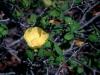 Malvaceae - Gossypium turneri - San Carlos Explorar2119