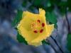 Malvaceae - Gossypium turneri - San Carlos Explorar2120
