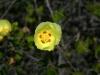 Malvaceae - Gossypium turneri_IMG_9236