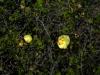 Malvaceae - Gossypium turneri_IMG_9237