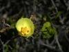 Malvaceae - Gossypium turneri_IMG_9239