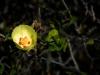 Malvaceae - Gossypium turneri_IMG_9241