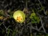 Malvaceae - Gossypium turneri_IMG_9242