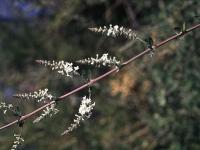 Aloysia gratissima (Gill. & Hook) Troncoso